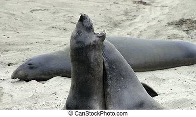 Elephant Seals Roughhousing