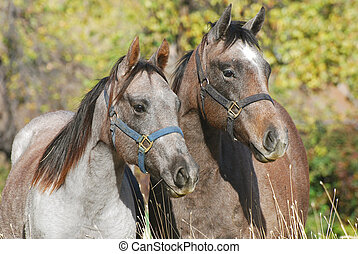 Two young quater horses - Two young blue roan colored quater...