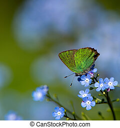 Green Hairstreak Callophrys rubi - The small but beautiful...