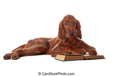 Setter puppy with glasses and book. Isolated on white -...