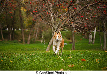 young merle border collie running in autumn