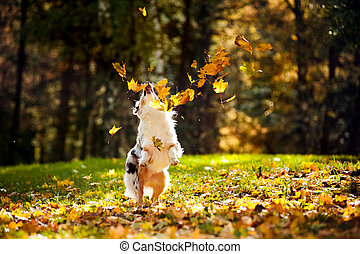 young Australian shepherd playing with leaves - young merle...