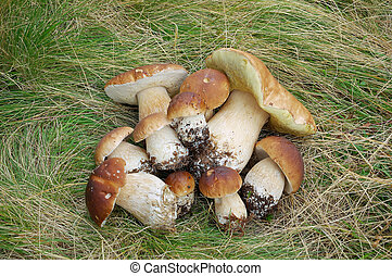 Ceps - Pile of white mushrooms in the grass