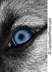 Wolf Eye Bluer - A macro shot of a wolf with a Blue eye