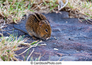 Striped mouse sitting in the shade