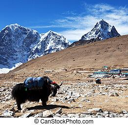 Yak in Nepal - yak in Himalaya