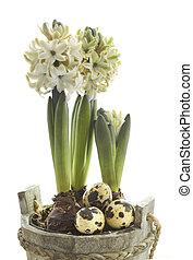Pascua, concepto, :, jacinto, flores, codorniz, huevos