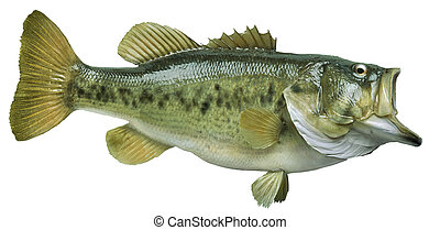 Largemouth bass isolated on white background - A big...