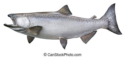 Big chinook or king salmon isolated on white - A big Alaskan...