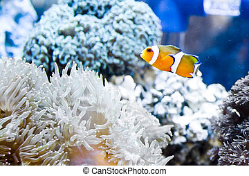 clown fish and sea anemone - Clown fish amongst the stinging...