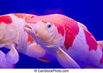 Big colorful Koi carp in a aquarium