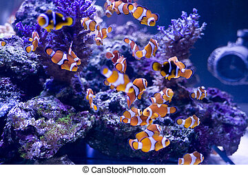 clown fish and beautiful coral in a sea aquarium