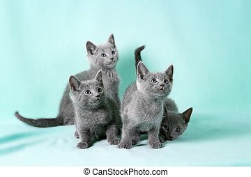 "Beautiful cats - Kittens (breed ""Russian Blue"") on the color..."
