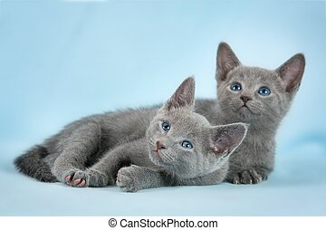 Beautiful cats - Kittens breed Russian Blue on the blue...
