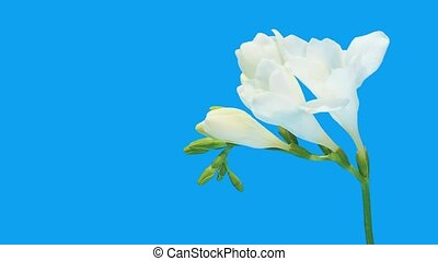 Time-lapse opening white Freesia