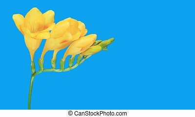 Time-lapse opening yellow Freesia