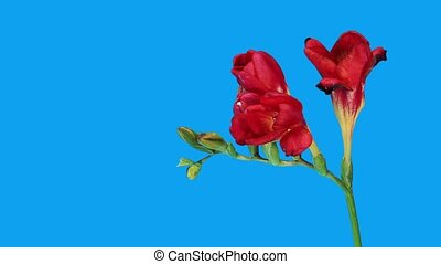 Time-lapse opening red Freesia