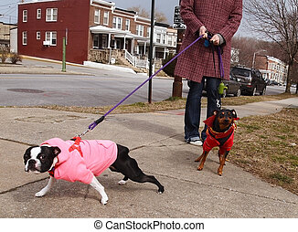 Bad Dogs On Leashes - Two well-dressed dogs (Boston Terrier)...