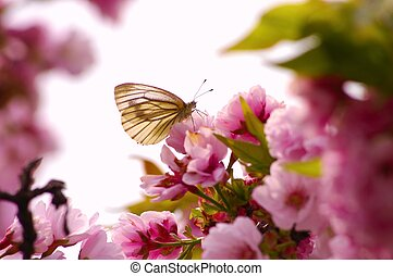 butterfly on cherry tree - this photo is taken in Kumamoto...