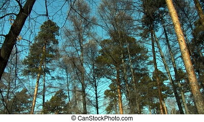 snow covered pine tree forest in sun day