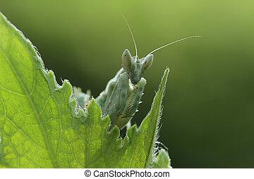 mantis behind the leaf