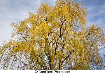 Weeping Willow in Spring Bloom - A Tall Weeping Willow in...