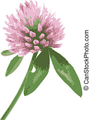 red clover - illustration of a red clover