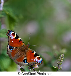 Peacock butterfly Inachis io - A beautiful colored peacock...
