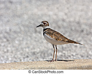 Killdeer (charadrius vociferus) standing in a parking lot