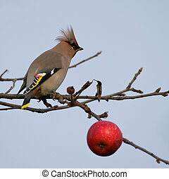 An apple a day II... - The beautiful Bohemian Waxwing...