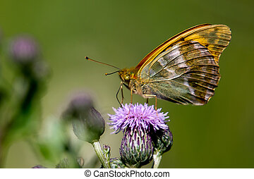 Silver-washed Fritillary Argynnis paphia - The silver-washed...