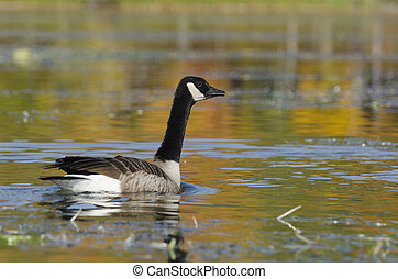 Goose and Autumn Colors - Selective focus on the goose on...