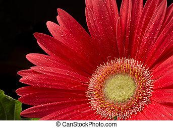 Focus on a Gerber Daisy - Selective focus on the centre...