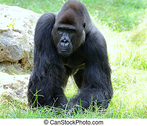 Gorillas male - Gorillas the largest extant genus of...