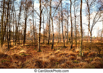 birch-wood forest in autumn, Dwingelderveld National Park in...