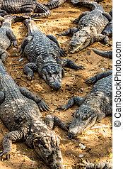 Crocodilo, jacaré