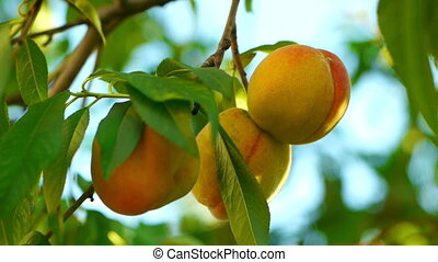 Three peaches on tree closeup - Juicy ripe colorful fresh...
