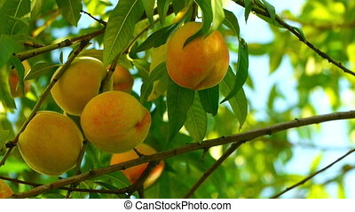 Several ripe peaches on tree - Juicy ripe colorful fresh...