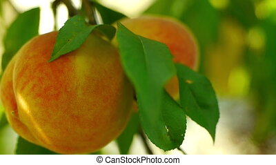 Two peaches on tree closeup - Juicy ripe colorful fresh...