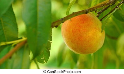 Ripe peach on the tree - Juicy ripe colorful fresh peaches...