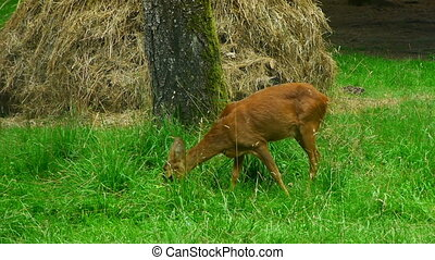 doe eating grass - Doe eating green grass in the meadow....