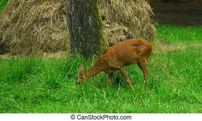 doe eating grass