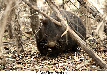 Wombat - A wombat rarely seen during the day on the edge of...