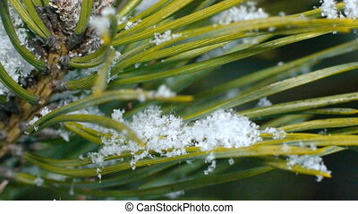 Fir needles under snowflakes, macro.
