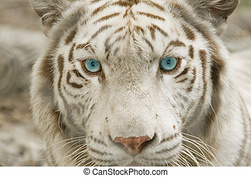 Close up albino tiger face