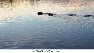 Lake after sunset with beautiful light reflections and ducks...