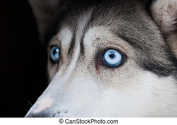 beautiful eyes of siberian husky dog