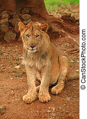 Lioness in a Mysore zoo - A beautiful and ferocious lioness...