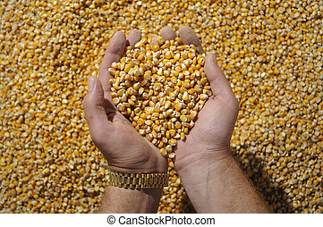 Corn in hands 2 - Grain of corn in hands