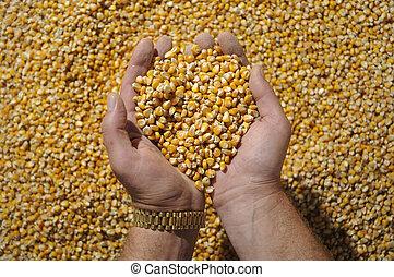 Corn in hands 2 - Grain of corn in hands